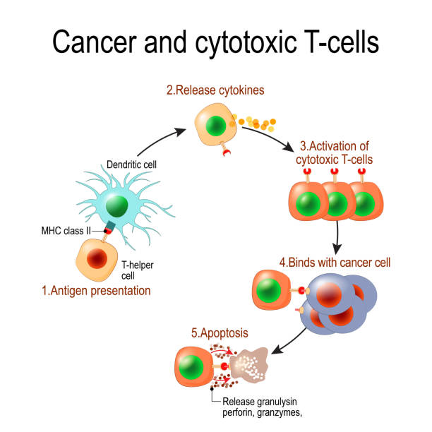 T lymphocyte kills cancer cells Cancer and cytotoxic T-cells. T lymphocyte kills cancer cells. T-cell (immune responses), release the perforin and granzymes, and attack cancerous cells. Through the action of perforin, granzymes enter the cytoplasm of the target cell, and lead to apoptosis (cell death biological cell stock illustrations