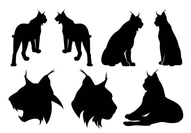 lynx cats black vector silhouette set wild lynx cats black vector silhouette set - standing, sitting and roaring animal outlines and heads bobcat stock illustrations