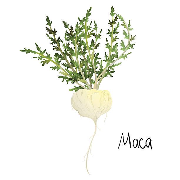 Maca plant Maca plant (Lepidium meyenii) or Peruvian Ginseng. EPS 10 love potion stock illustrations