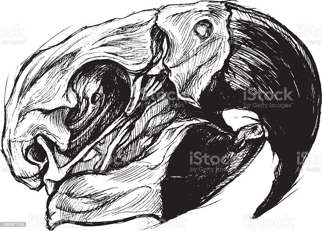 Macaw Skull Drawing line work vector vector art illustration