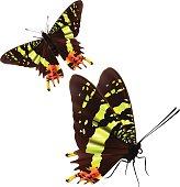 Madagascan Sunset Moth - Vector