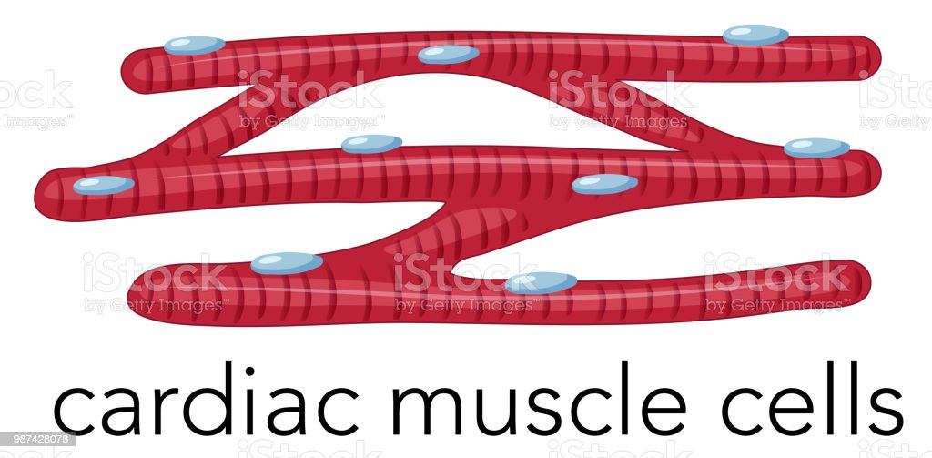 Magnfied Cardiac Muscle Cells Stock Vector Art & More Images of ...