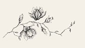 Pencil drawing of Magnolia branch. Hand-drawn vectored illustration.