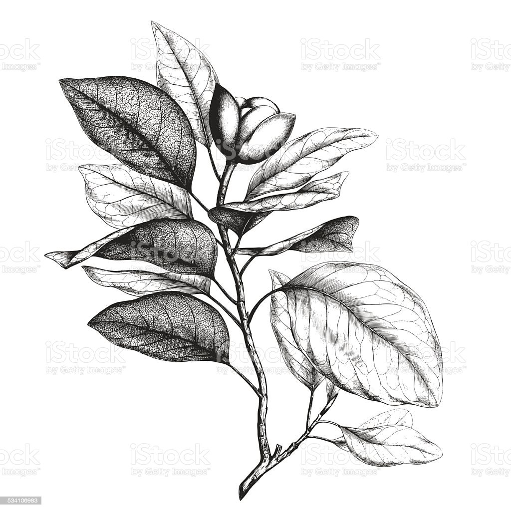Magnolia engraving vector art illustration