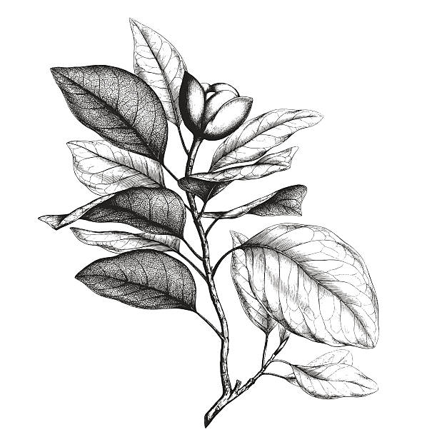 Magnolia engraving Ancient style engraving or etching of magnolia talauma etching stock illustrations