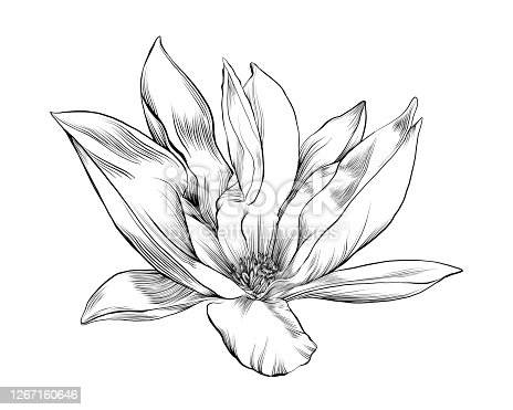 Magnolia Floral Ink Drawing. Vector EPS10 Illustration