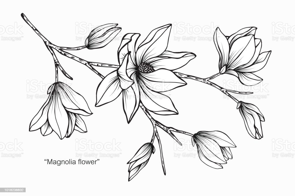 Magnolia flower drawing illustration black and white with line art magnolia flower drawing illustration black and white with line art on white backgrounds royalty mightylinksfo