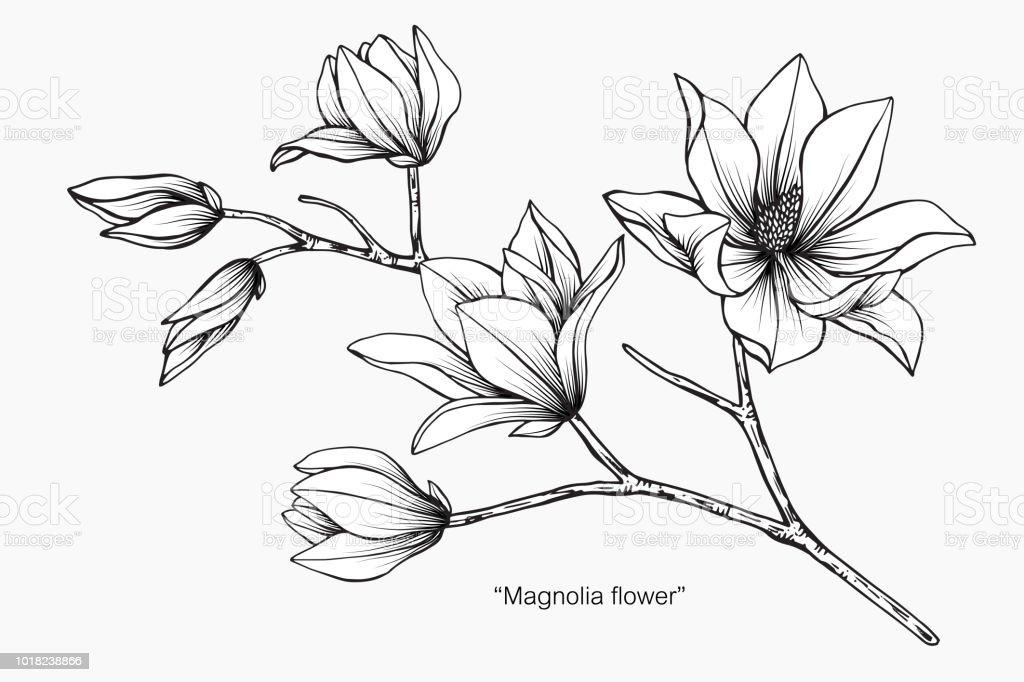 Magnolia Fleur Dessin Illustration Noir Et Blanc Avec
