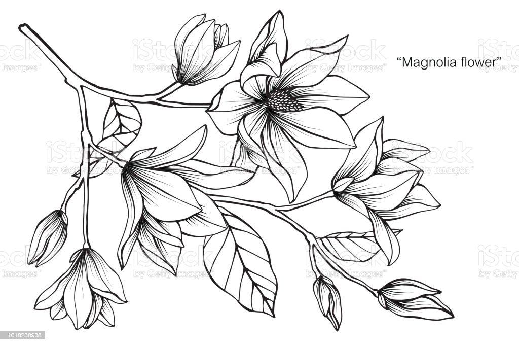 Magnolia fleur dessin illustration noir et blanc avec dessins au trait sur fond blanc cliparts - Dessin de fleur en noir et blanc ...