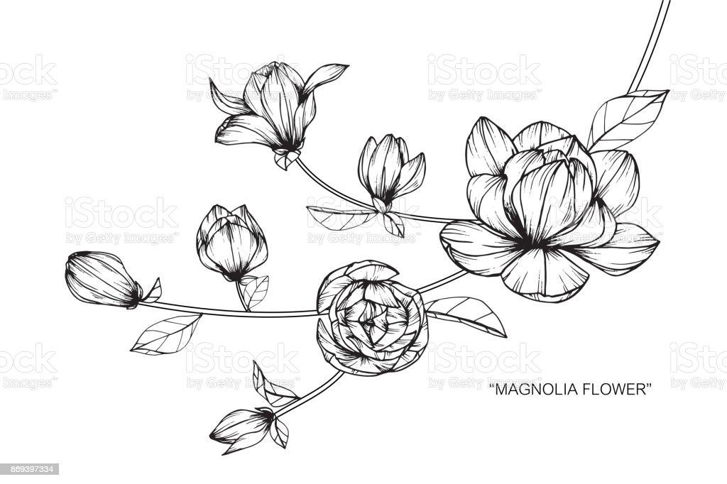 Magnolia Blumen Zeichnen Stock Vektor Art Und Mehr Bilder Von