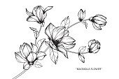 Magnolia flower drawing.