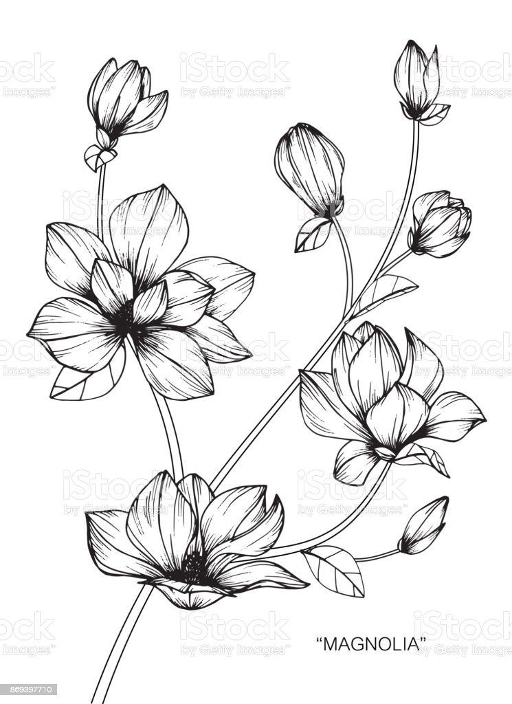 Fleur De Magnolia De Dessin Cliparts Vectoriels Et Plus D Images