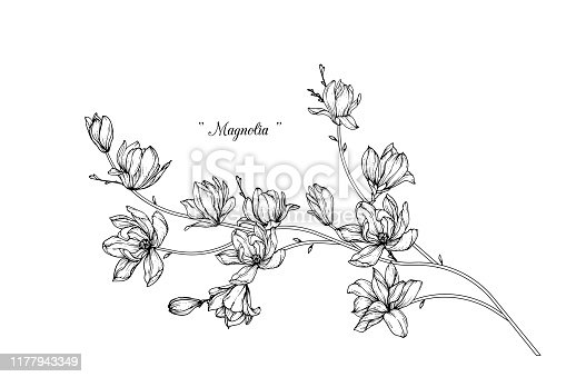 istock Magnolia flower drawings. 1177943349