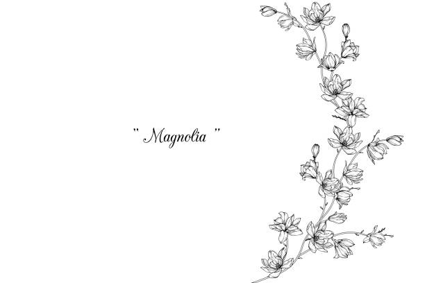 Magnolia flower drawings. Sketch Floral Botany Collection. Magnolia flower drawings. Black and white with line art on white backgrounds. Hand Drawn Botanical Illustrations. trillium stock illustrations