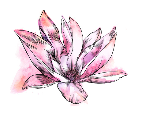 Magnolia Flower Watercolor and Ink Drawing. Vector EPS10 Illustration