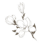 Magnolia flowers and buds on white. Vector illustration.