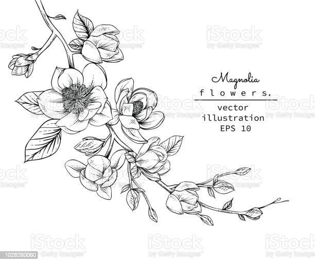 Magnolia flowers vector id1028260060?b=1&k=6&m=1028260060&s=612x612&h=laezd whm4zpnf0z7fs y5ar7zwj3hk4azpq4jvhagi=