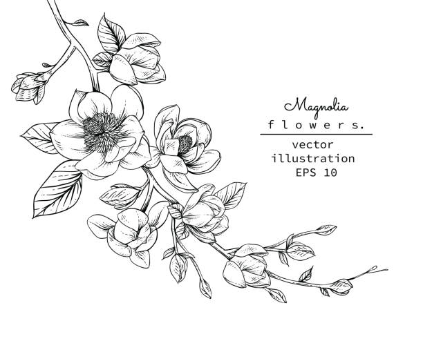 Magnolia flowers Sketch Floral Botany Collection. Magnolia flower drawings. Black and white with line art on white backgrounds. Hand Drawn Botanical Illustrations.Vector. backgrounds clipart stock illustrations
