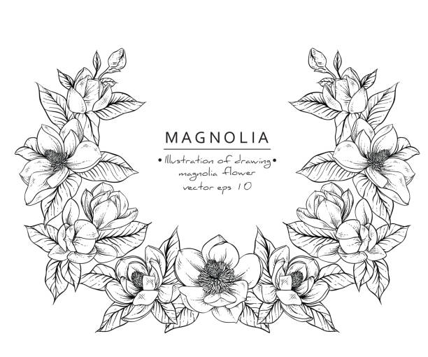 Magnolia flowers Sketch Floral Botany Collection. Magnolia flower drawings. Black and white with line art on white backgrounds. Hand Drawn Botanical Illustrations.Vector. flowerbed stock illustrations