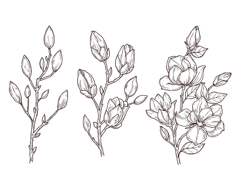 Magnolia sketch. Art floral blossom branch and flowers bunch. Drawing romantic spring plants, nature, graphic botanic vector illustration