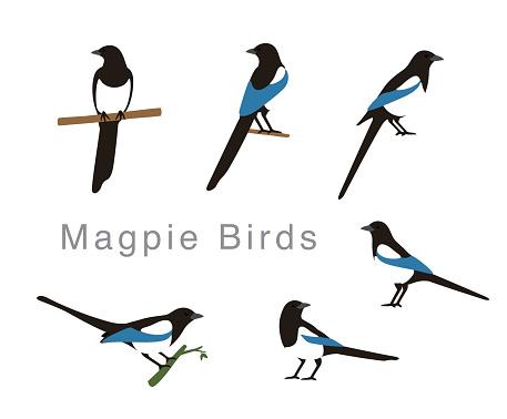Magpie bird poses set, vector illustration