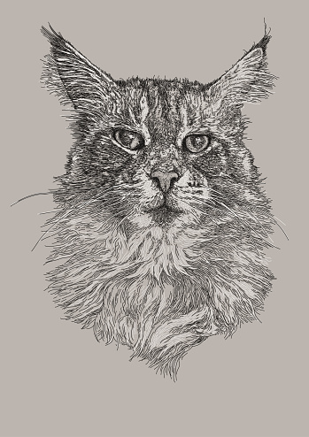 Maine Coon Domestic Cat