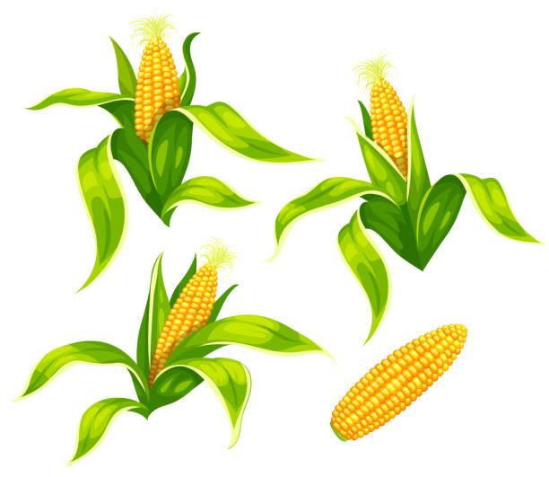 ilustrações de stock, clip art, desenhos animados e ícones de maize corn cobs isolated vector set. illustration. - milho