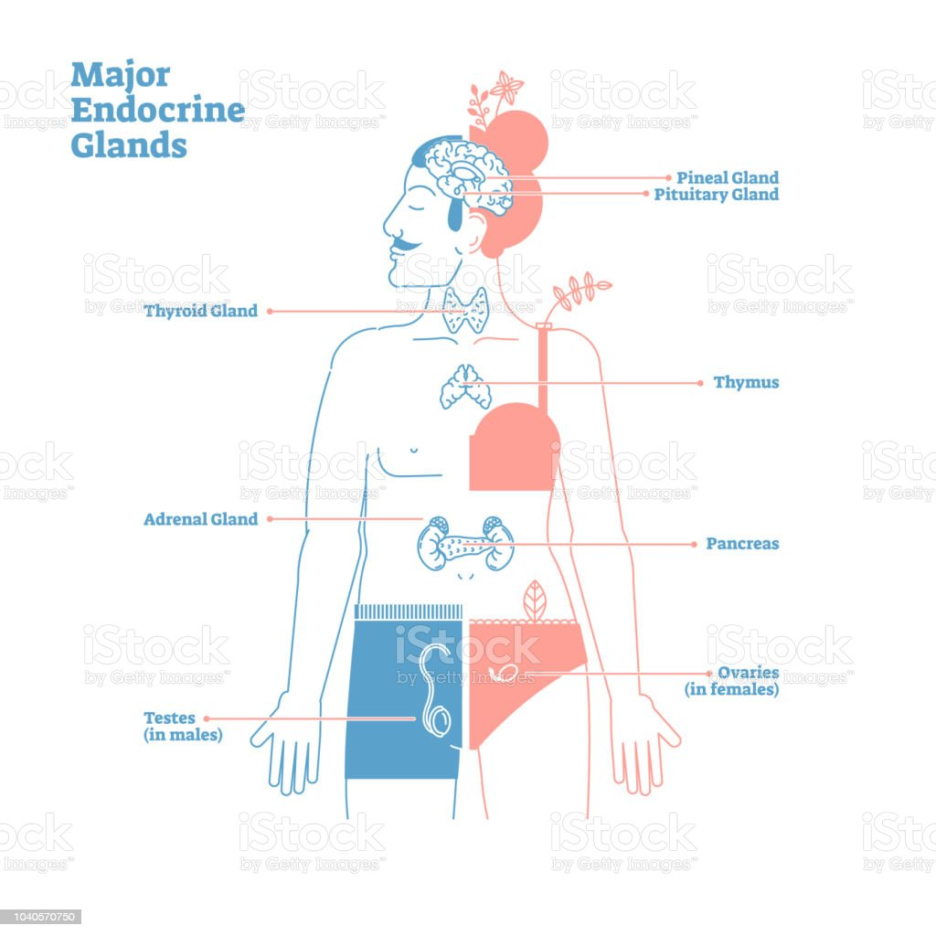 Major Endocrine Glands Vector Illustration Diagram Human Body