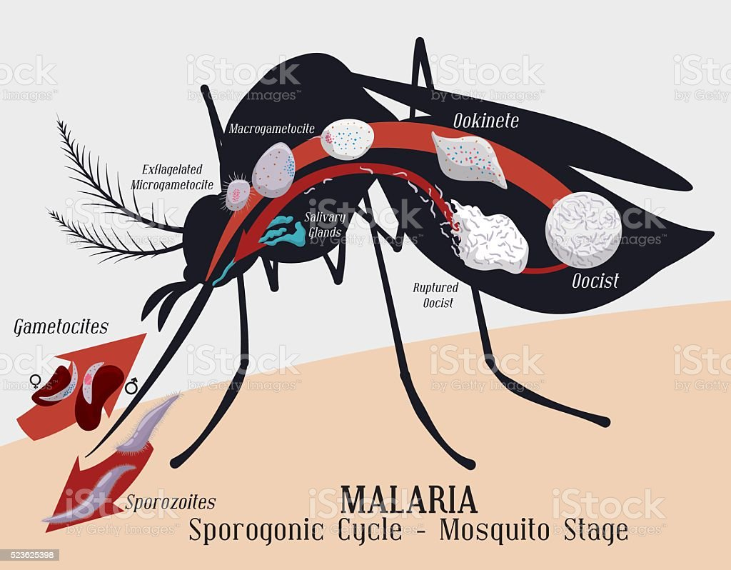 Malarian Plasmodium Life Cycle: Mosquito Infection vector art illustration