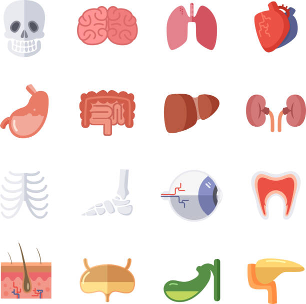 Royalty Free Female Physiology Clip Art, Vector Images ...