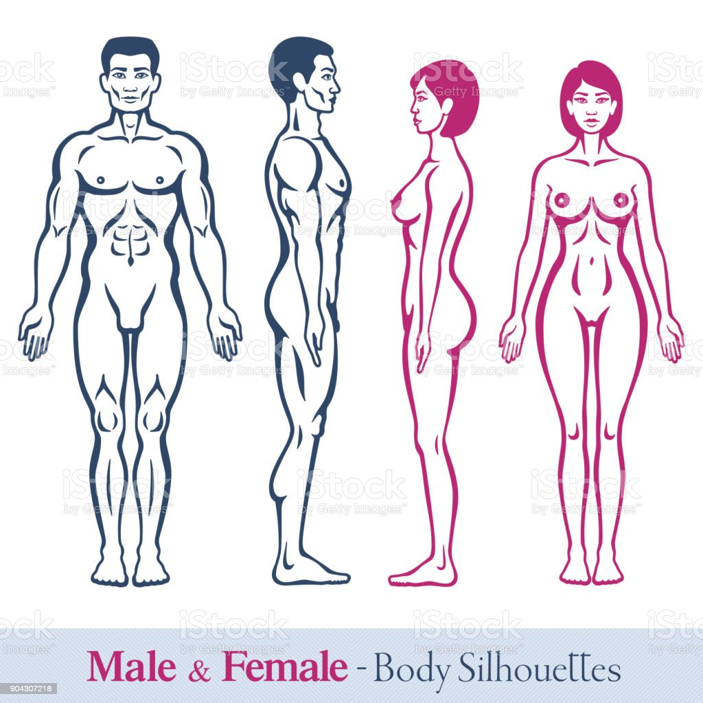 Male And Female Bodies Stock Vector Art More Images Of Anatomy