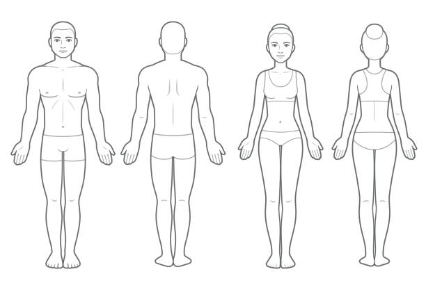 Male and female body chart Male and female body chart, front and back view. Blank human body template for medical infographic. Isolated vector clip art illustration. back stock illustrations