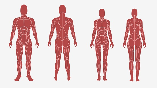 Male and female body in an anatomic, muscular illustration. Front and back view - isolated vector illustrations on white background. Used for education system, in sports design, print, sites.