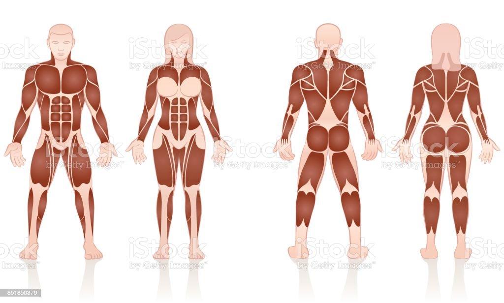 Ilustración de Los Músculos De Hombres Y Mujeres Grandes Grupos ...