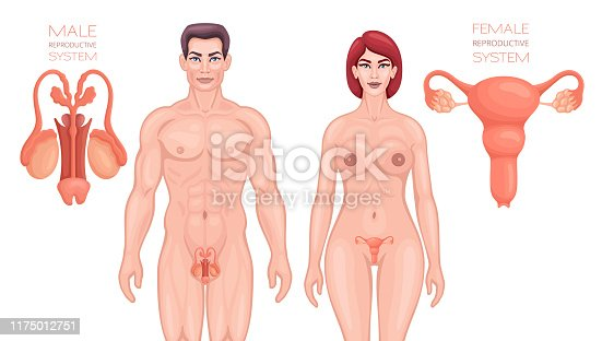 Man and woman reproductive system. Anatomy vector.