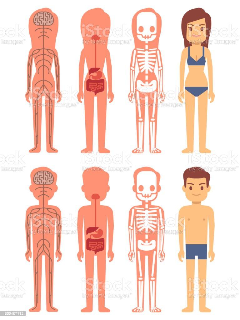 Männliche Und Weibliche Skelett Verdauungsund Nervensystem Stock ...