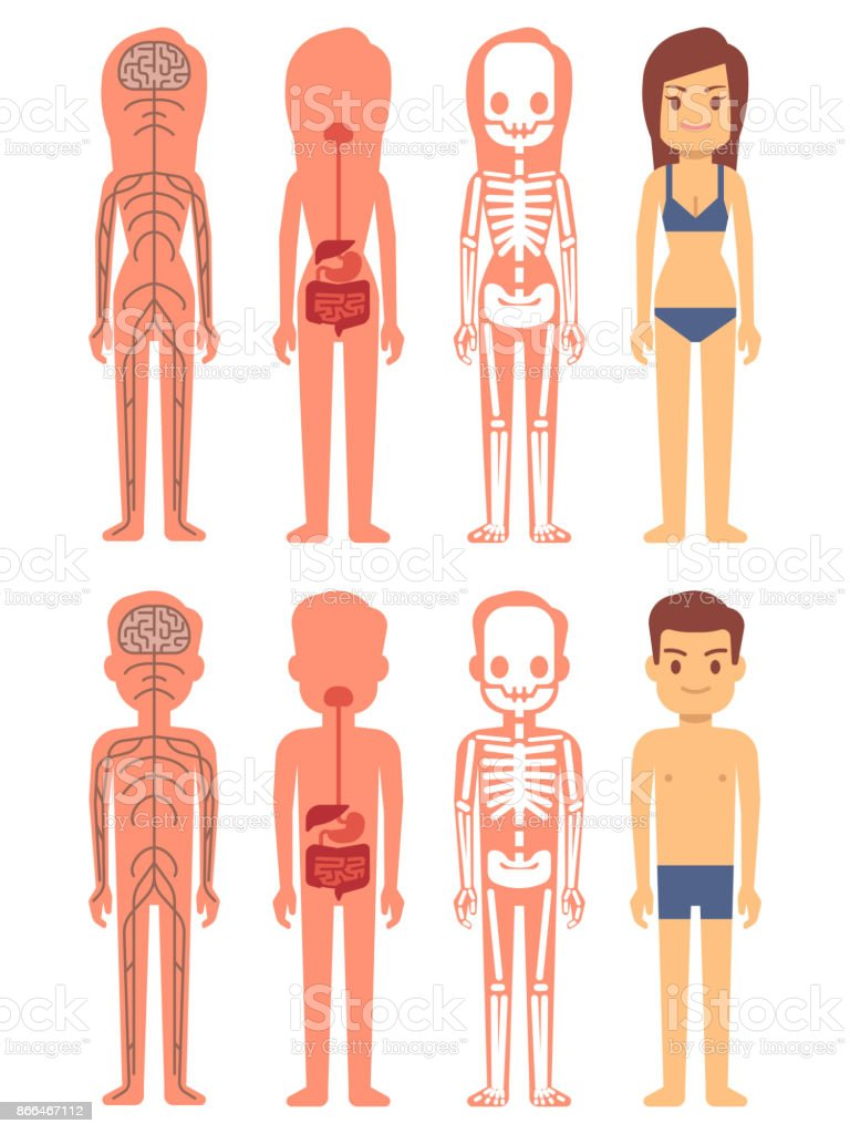 Male and female skeleton, digestive and nervous systems vector art illustration