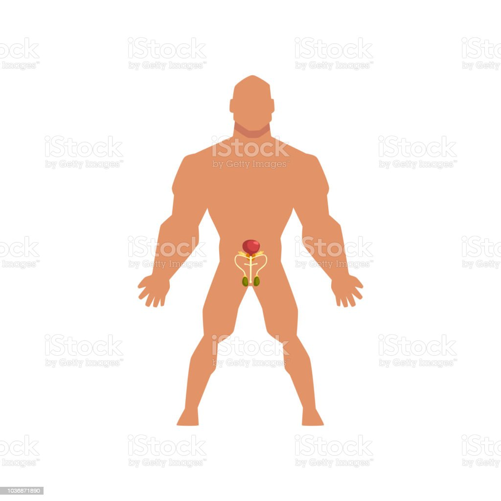Male Biological Sexual System Anatomy Of Human Body Vector