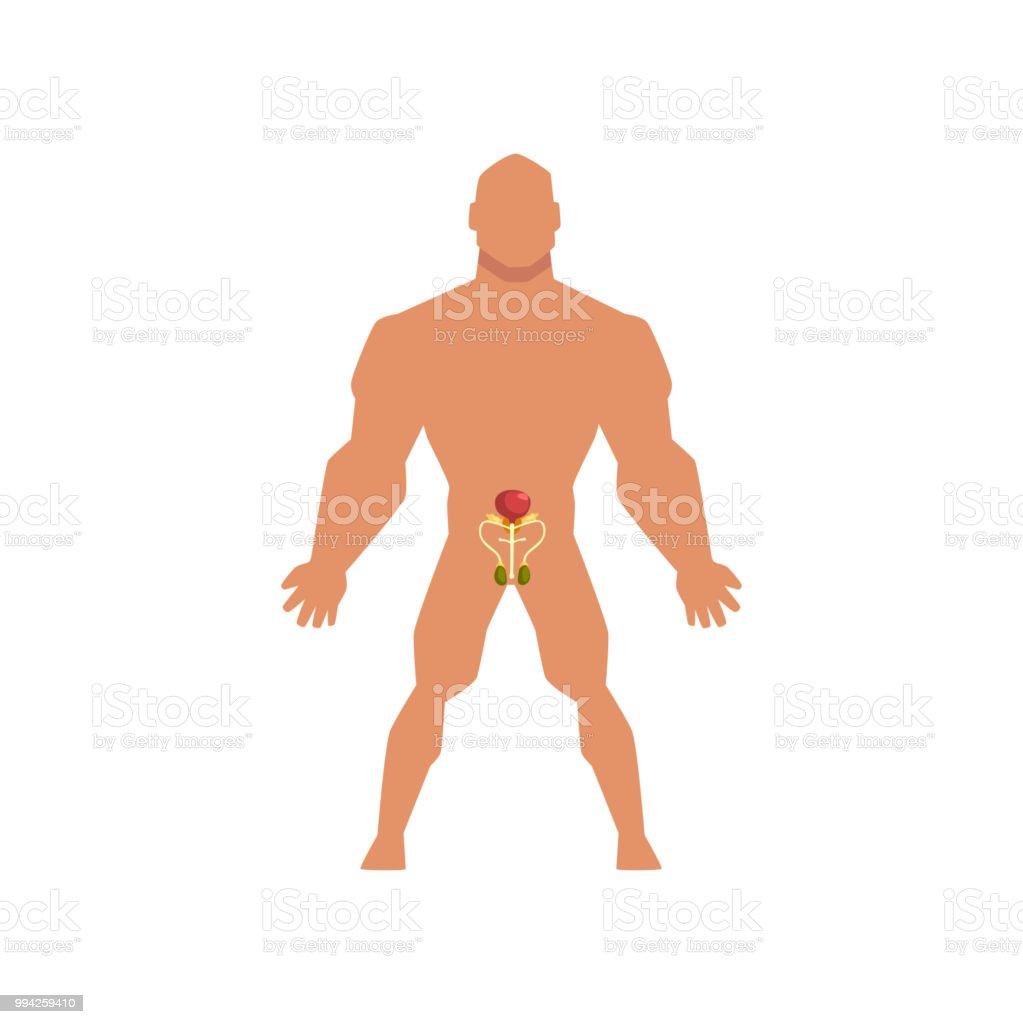 Ilustración de Biológica Sistema Sexual Masculino Anatomía Del ...