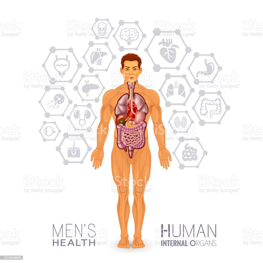 Male body and internal organs vector art illustration
