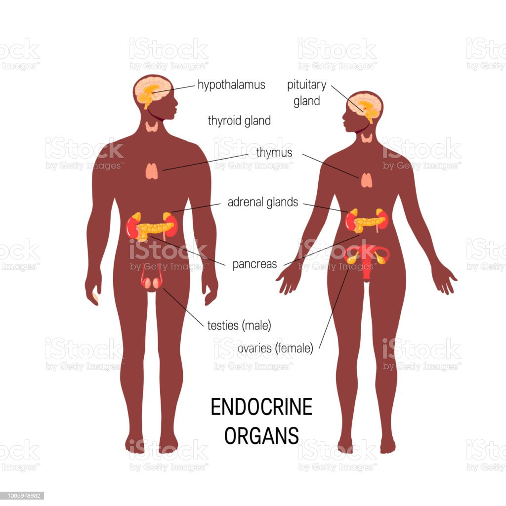 Male Endocrine Organs Simple Vector Infographic In Flat Style Stock