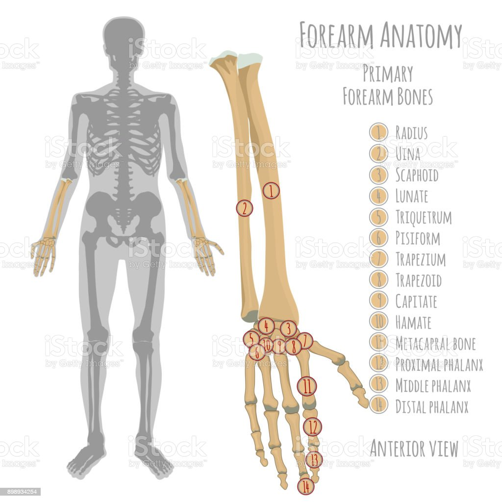 Male Forearm Bones Anatomy Stock Vector Art More Images Of Anatomy