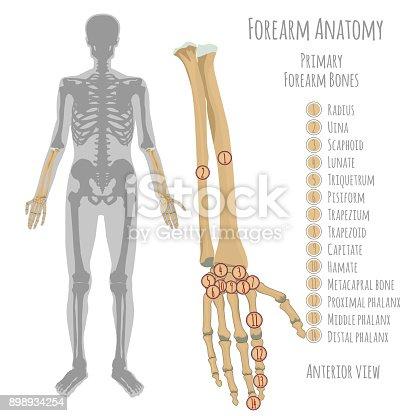 Männliche Unterarm Knochen Anatomie Stock Vektor Art und mehr Bilder ...