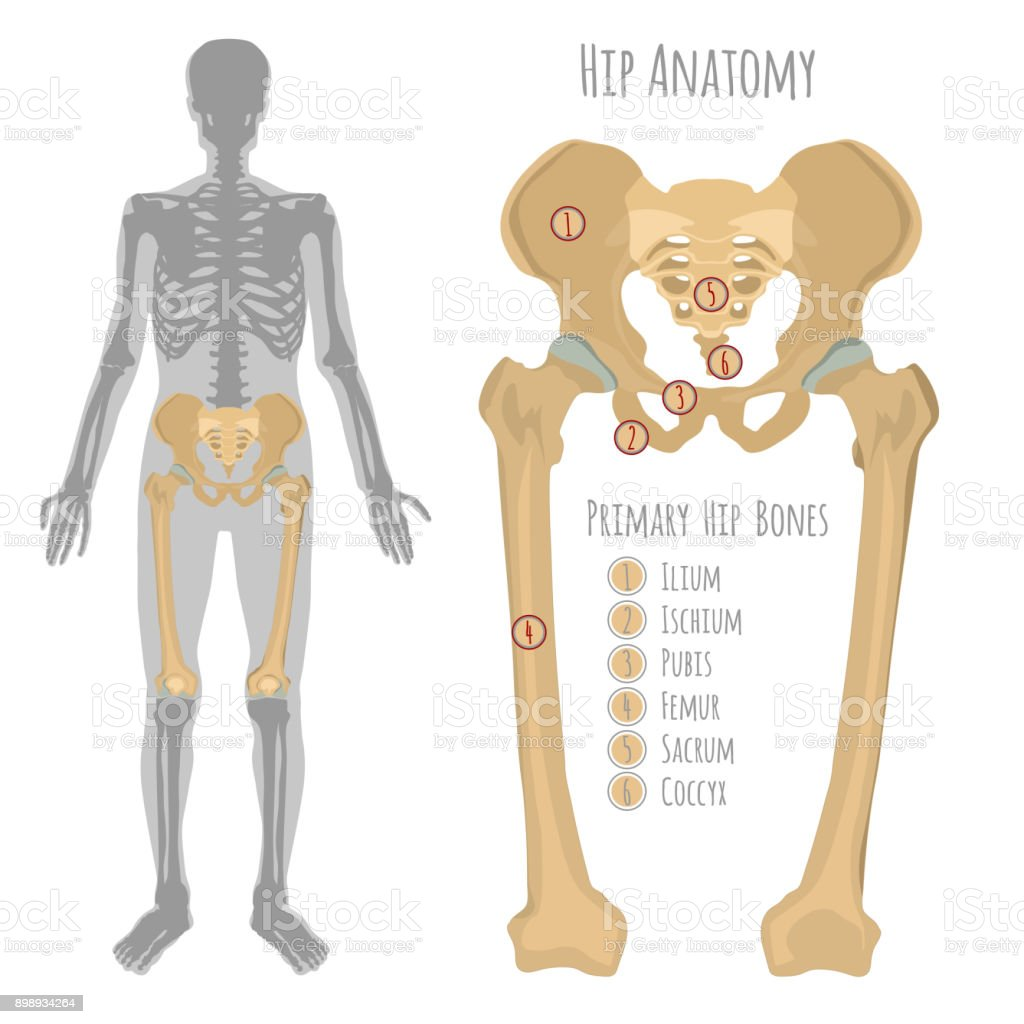 Male Hip Bone Anatomy Stock Vector Art More Images Of Anatomy
