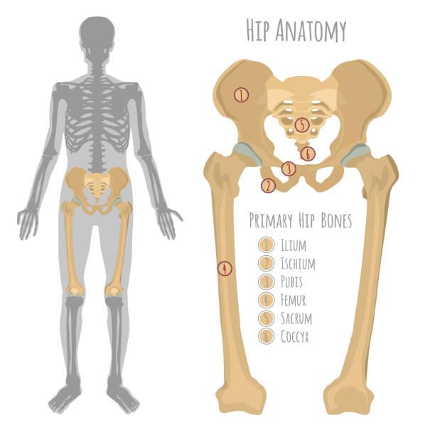 Male hip bone anatomy vector art illustration
