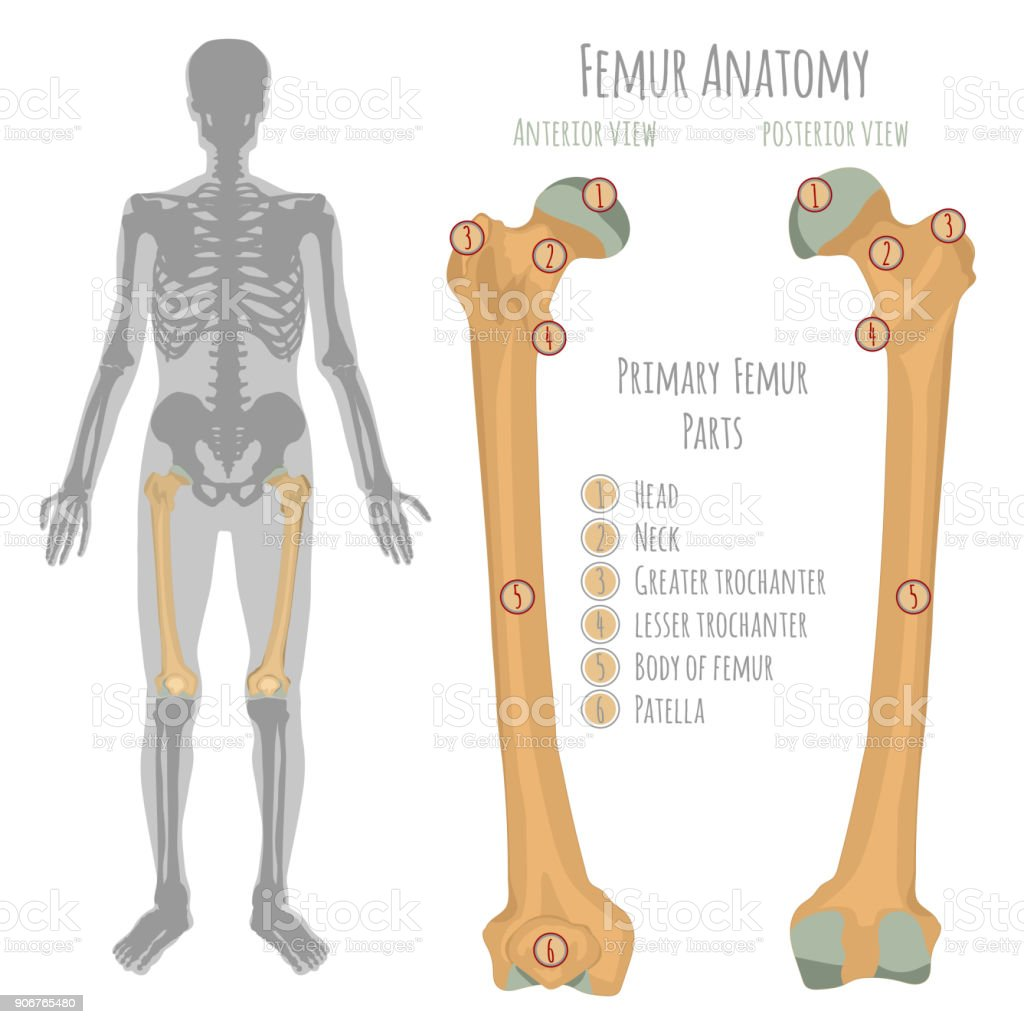 Male hip bone anatomy vector art illustration