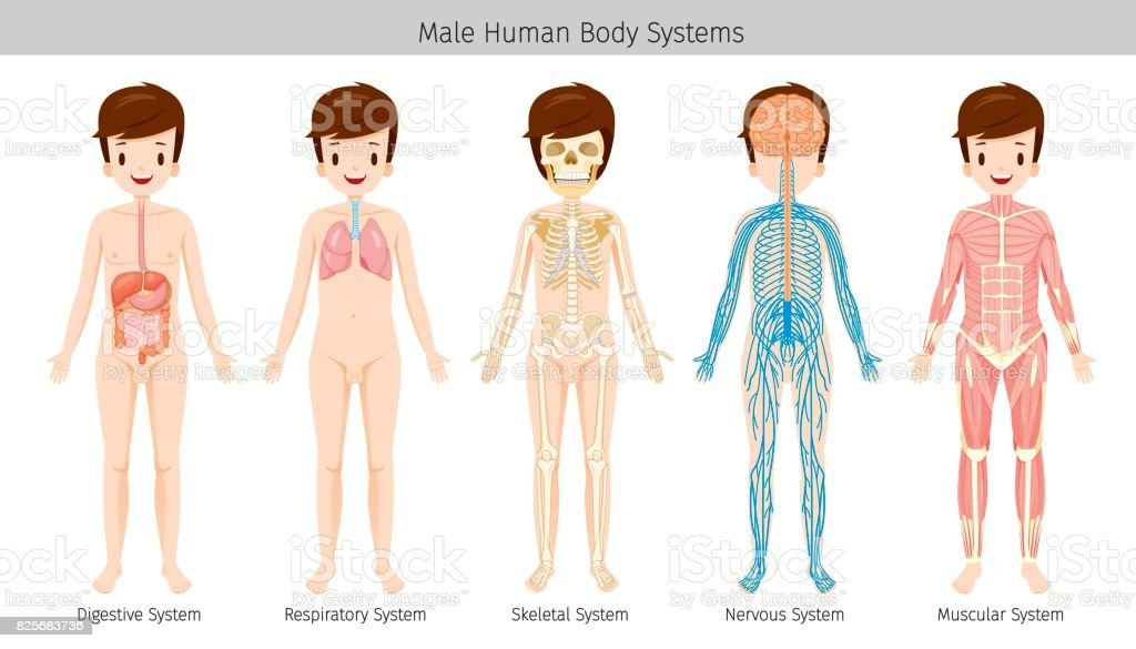 Male Human Anatomy Body Systems Stock Vector Art More Images Of
