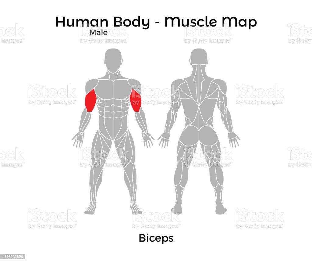 Männlicher Körper Muskel Karte Bizeps Stock Vektor Art und mehr ...