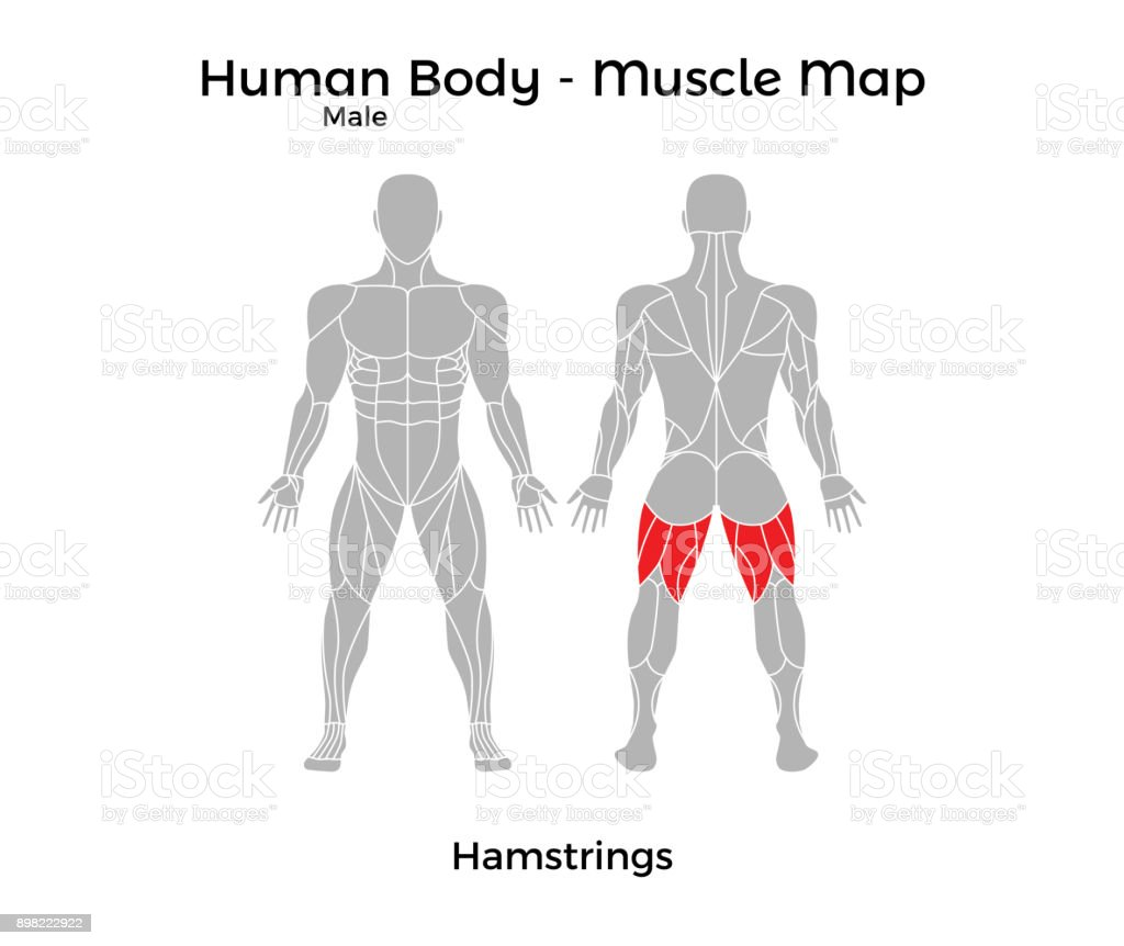 Male Human Body Muscle Map Hamstrings Stock Vector Art & More Images ...
