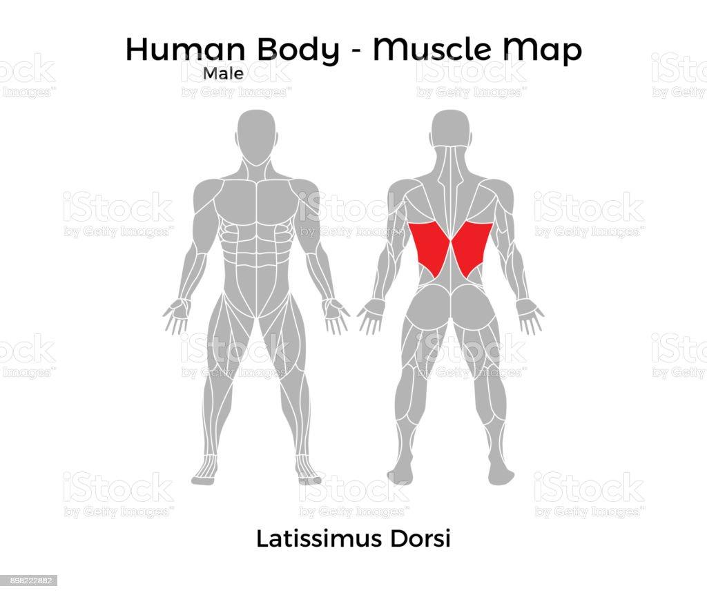 Männlicher Körper Muskel Karte Latissimus Dorsi Stock Vektor Art und ...